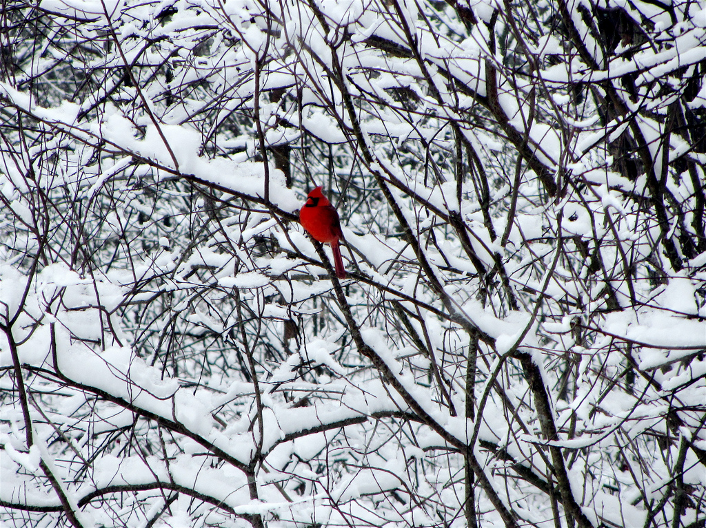 cardinal in silent snow