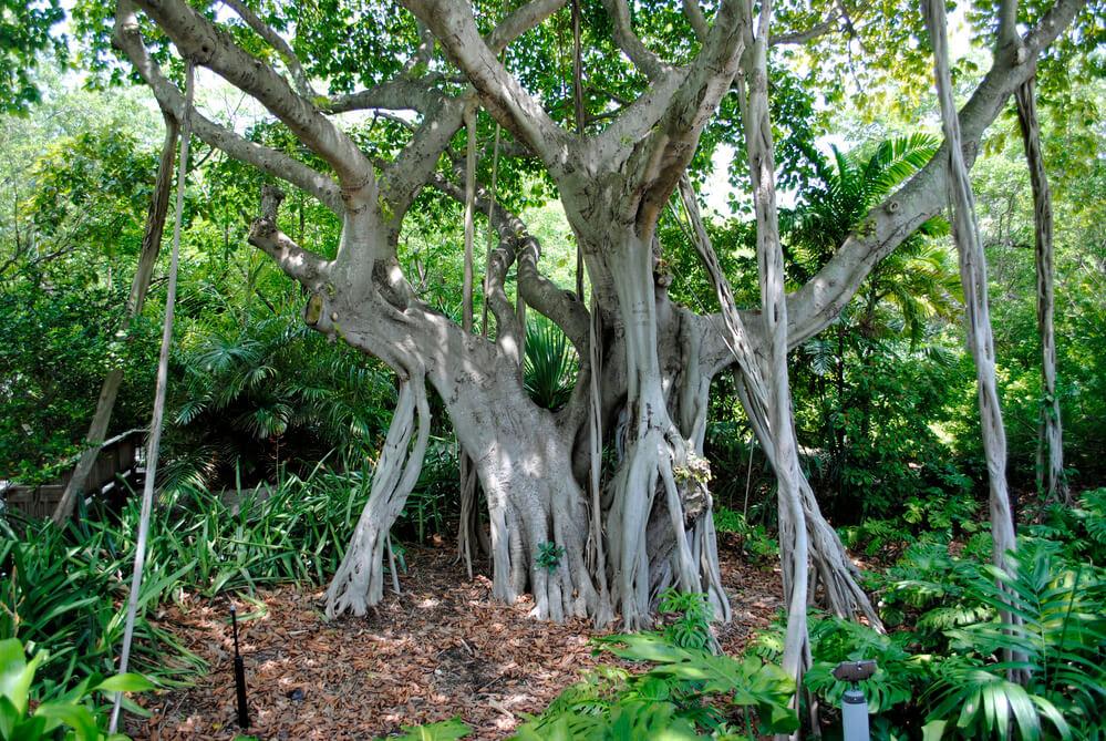 Banyan tree strong roots