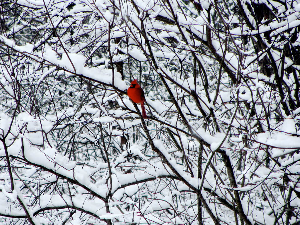 less is more - cardinal in snowy trees